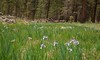 There are huge numbers of Iris plants starting to bloom in the area wiped out by the 2011 forest fire near Alpine, AZ.