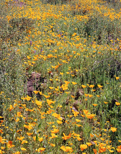 Fields of poppies at Picacho Peak.