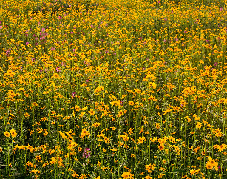 The flowers in East Flagstaff, AZ in August usually extend for miles and can be smelled for a long distance.