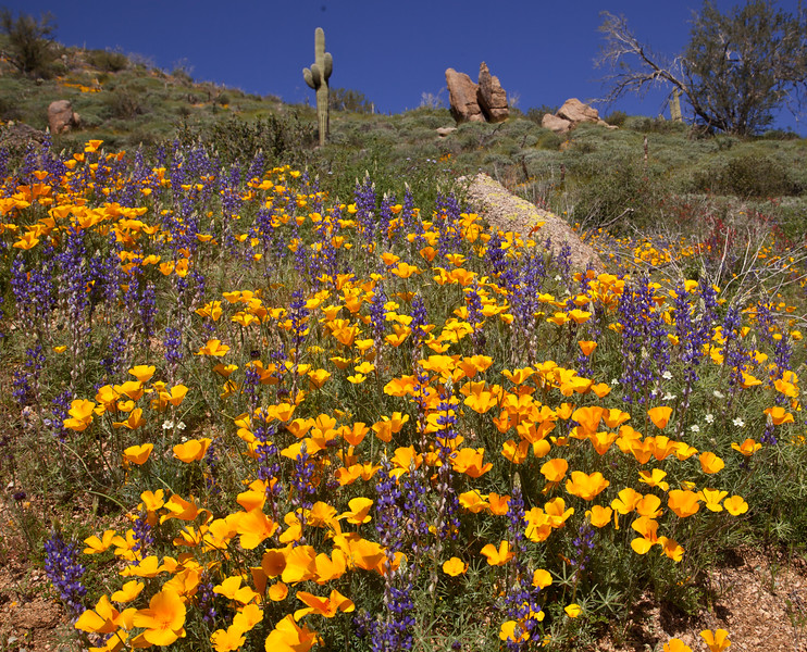 2012 is the best year I have ever seen for wildflowers in Arizona.