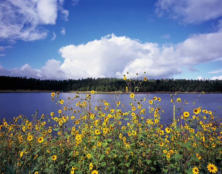 August flowers along Lake Mary in Flagstaff, AZ