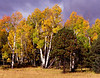 Changing leaves in Flagstaff, AZ, with a storm approaching.