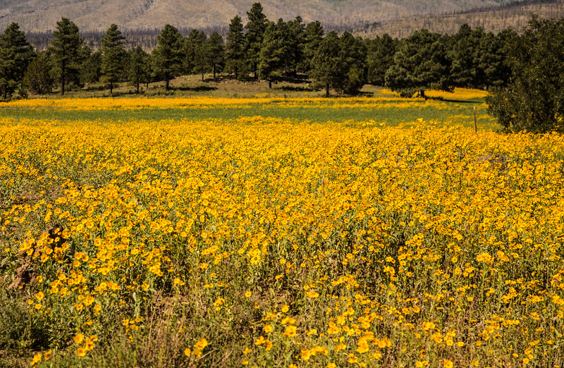 Flagstaff in August.  The flowers can be seen and smelled for many miles.