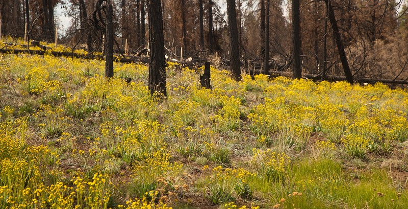 Fields of flowers coming up after the 2011 forest fire.