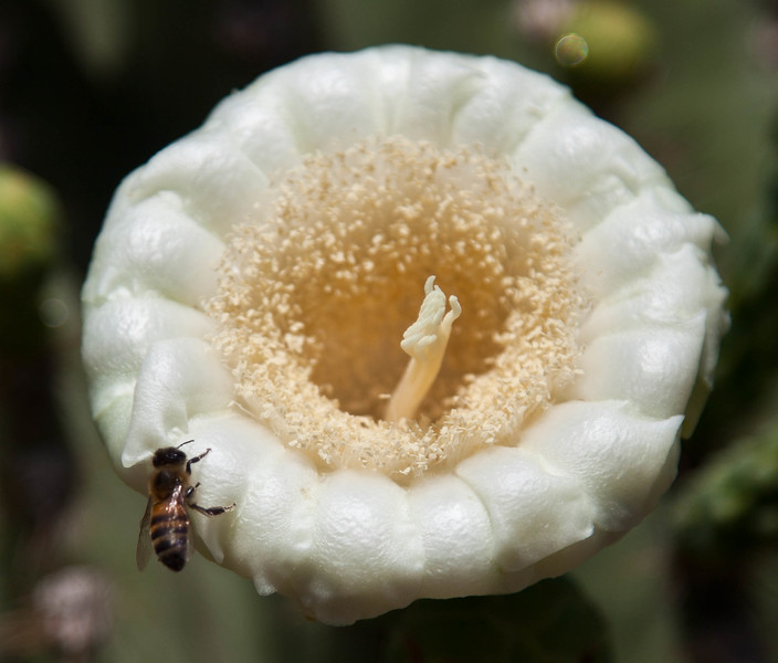 This bee was very busy pollinating the saguaro blossom and keeping other bees away.