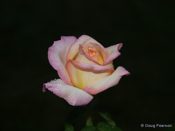 A rose with morning dew.