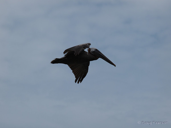 A Pelican flys by.