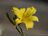 Yellow flower seen on a Sunday morning walk