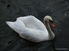A Swan seen in the UK, picture 1.