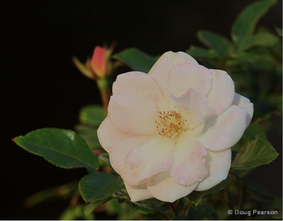 Here is a picture of a rose I saw this morning.