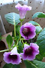 A GLoxinia on my windowsill.  I rescued it from the trash at work and it has rewarded me many times with blooms like this.  November 2005.