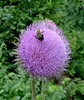 Thistle with a pollinating bee.  June 2005.
