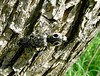 Click beetle.  He'll give an audible click when he flips over from his back (if he happens to be on his back).