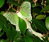 00aFavorite Large 4in or so across greenish-white moth in camellia by my garage