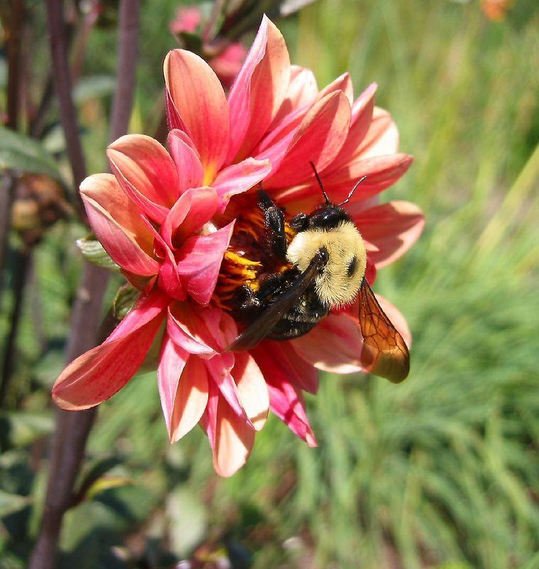 Big bumblebee in a (I think) zinnia - JC Raulston Arboretum, Raleigh, NC