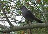 Little grey bird at Duke Gardens