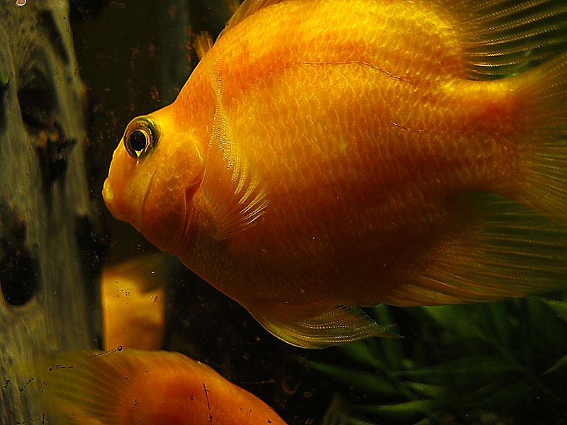 Orange fish cl (in tank at Toronto's Le Commensal restaurant)