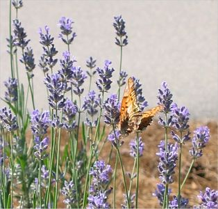 Butterfly in lavender