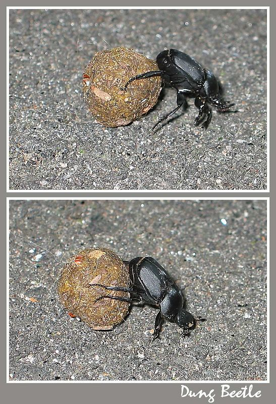 00aFavorite Dung Beetle cl [2 shots, borders, text]