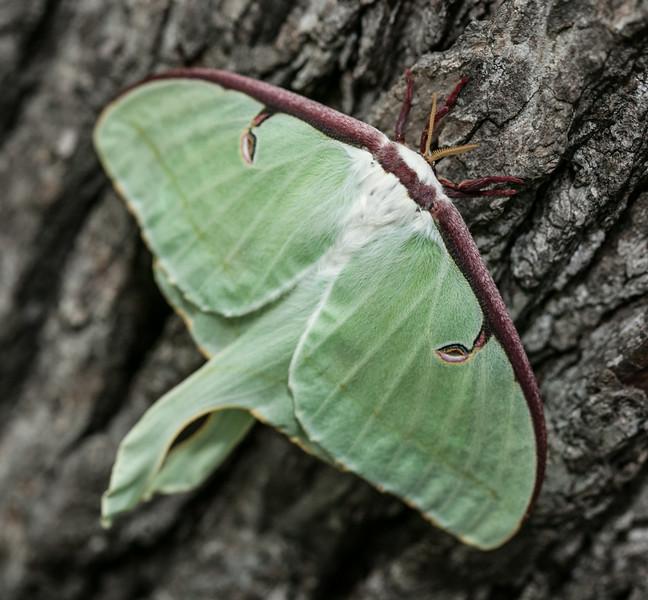 00aFavorite 20140730 Luna Moth on tree in Dilip's front yard - Durham NC (1858)-2