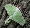00aFavorite 20140730 Luna Moth on tree in Dilip's front yard - Durham NC (1858)-2