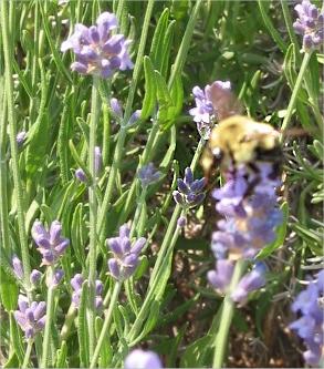 Bumblebee midair in lavender [fuzzy]