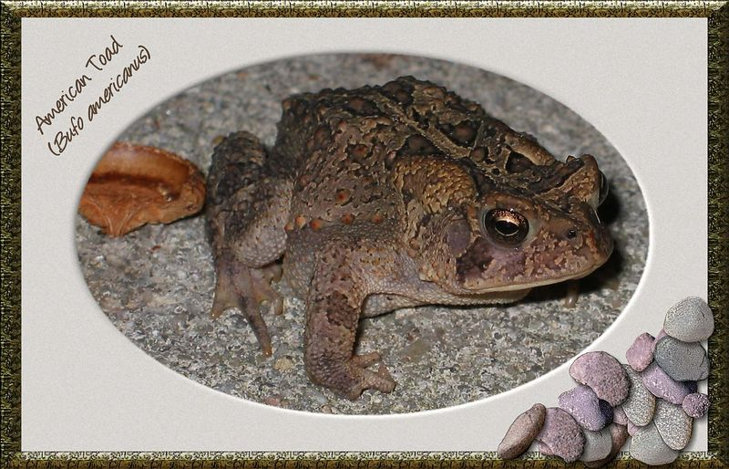 American Toad on my driveway 2 [antique oval frame, text, pebbles]