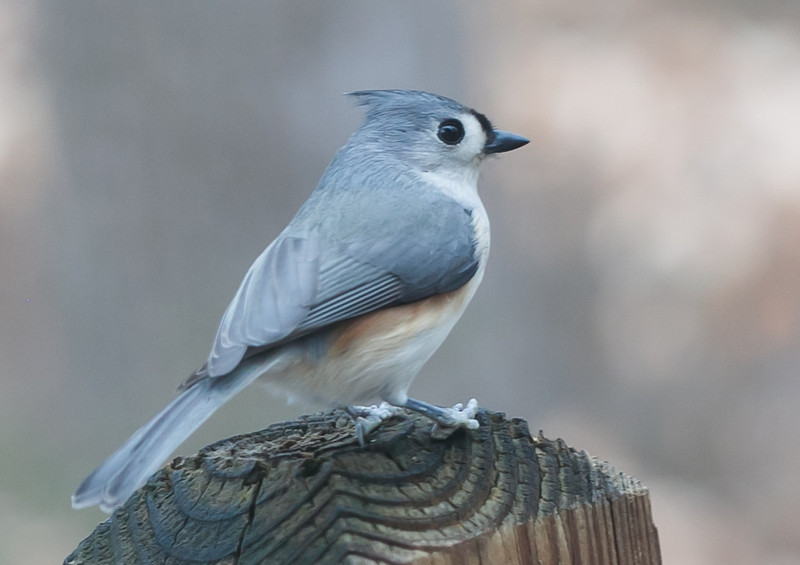 20120123 Tufted Titmouse on Dilip's deck, Durham NC (1600)-2