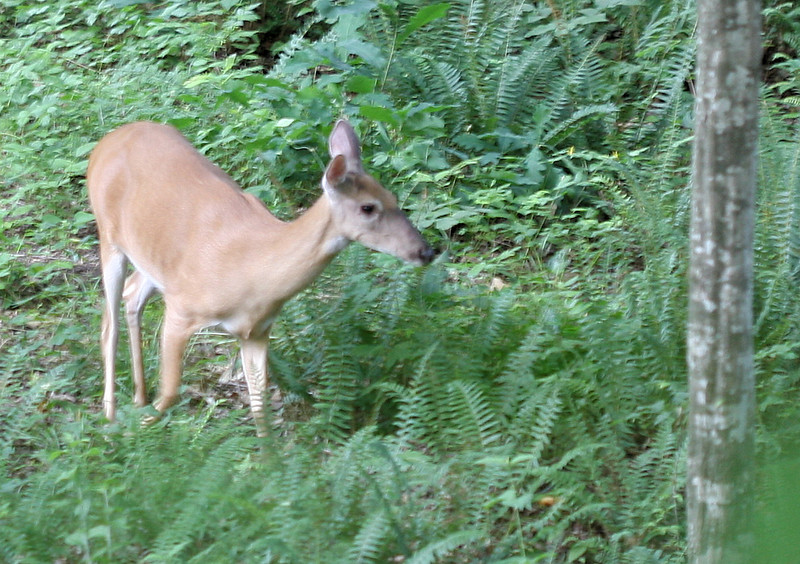 20070607 Deer near our backyard 5 (blurry)