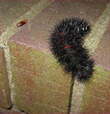 black fuzzy caterpillar