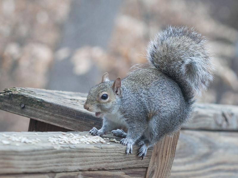 00aFavorite 20120123 Eastern Gray Squirrel on Dilip's deck, Durham NC (1557)
