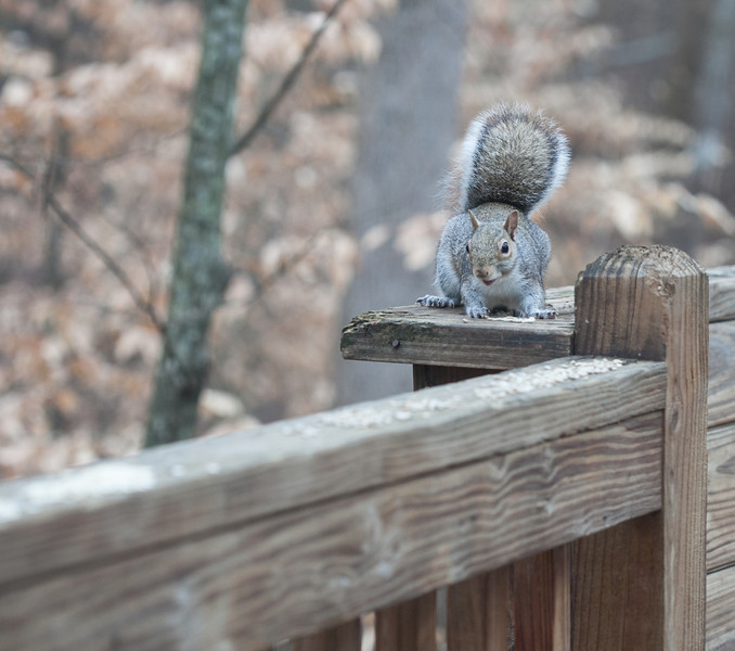 20120123 Eastern Gray Squirrel on Dilip's deck, Durham NC (1555)-2