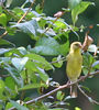 00aFavorite 20070609 Small yellow bird in our front yard