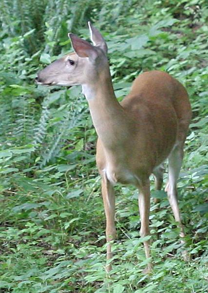 20070607 Deer near our backyard 3