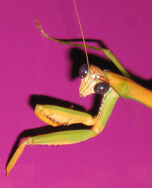 00aFavorite Large praying mantis on my front door cl