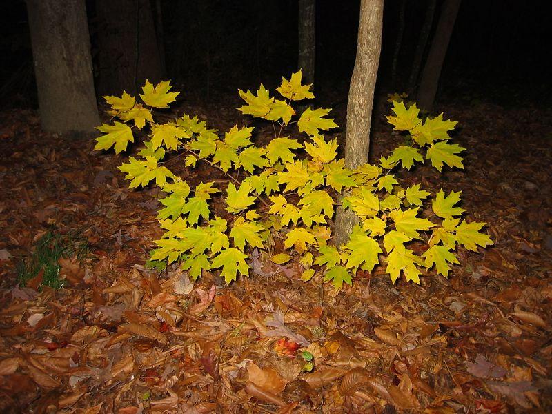 Splotch of yellow leaves in my backyard