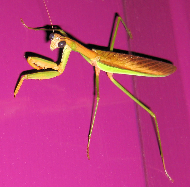 00aFavorite Large praying mantis on my front door (flipped - was upside down)