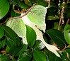 Large greenish-white moth 2