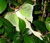Large greenish-white moth 2