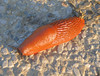 00aFavorite Slug in Inverigo, Italia