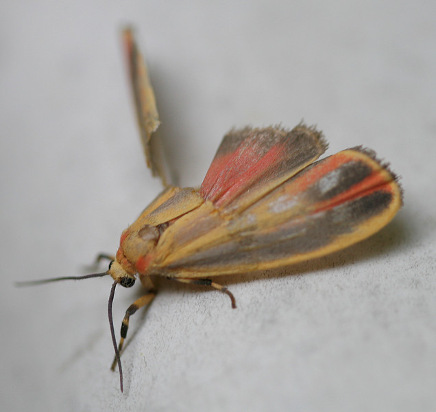 20070607 Yellow and red moth with damaged wing 2