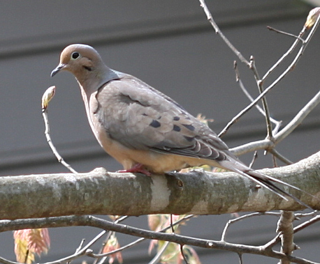 20070403 Bird (dove or pigeon I think) in my side yard cl