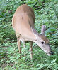 00aFavorite 20070607 Deer near our backyard
