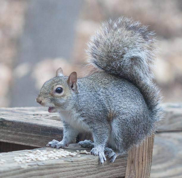 20120123 Eastern Gray Squirrel on Dilip's deck, Durham NC (1557)-2