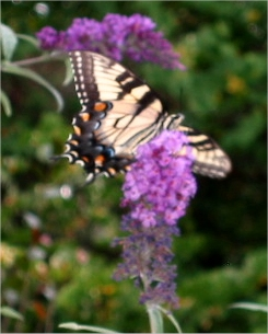 Butterfly with BtrflyBush - Duke Gardens