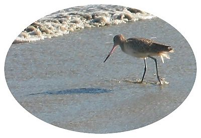 A sea bird with a pointy beak, Long Beach, CA [oval crop]