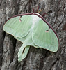 00aFavorite 20140730 Luna Moth on tree in Dilip's front yard - Durham NC (1858)