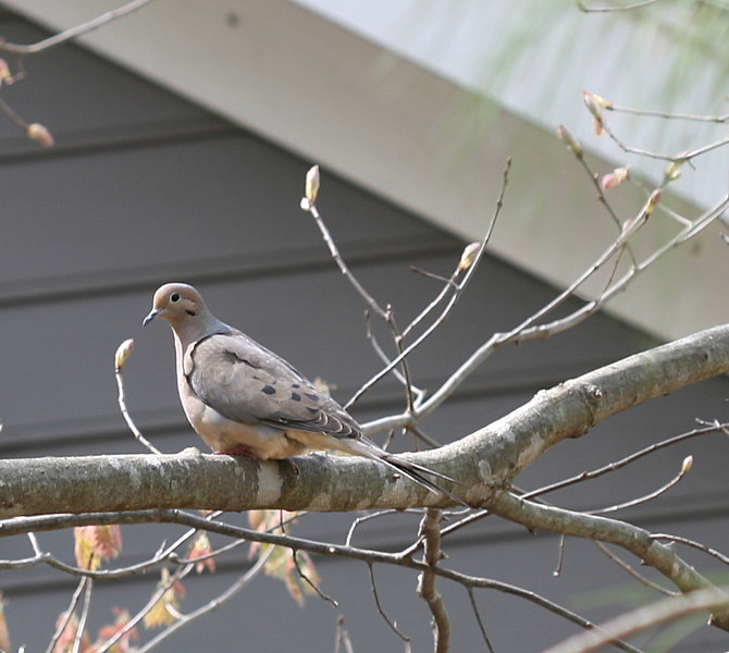 20070403 Bird (dove or pigeon I think) in my side yard - wider view