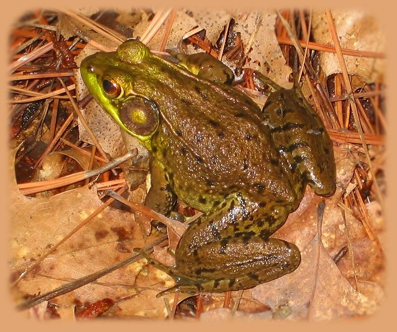 00aFavorite Frog (Green Frog, Rana clamitans) in Native Plants area of Duke Gardens [feathered]
