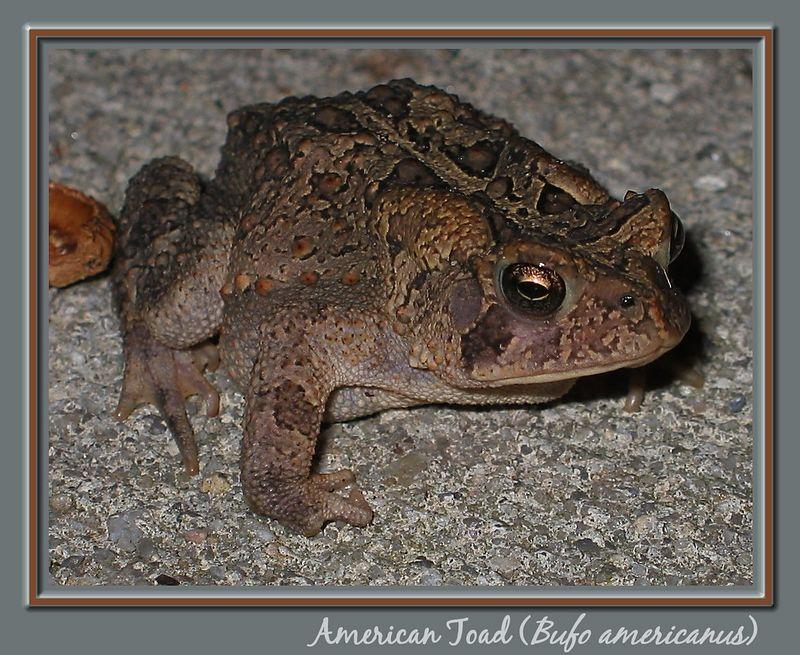 00aFavorite American Toad (Bufo americanus) on my driveway